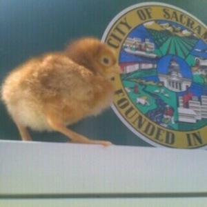 Sacramento Chick